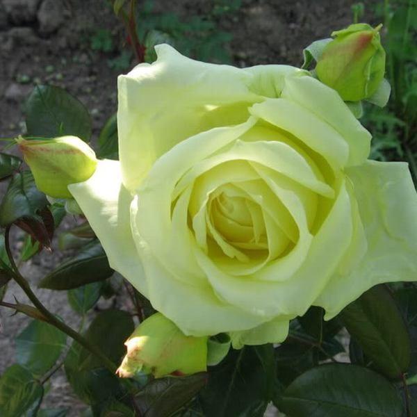róża elfe