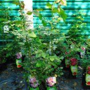 róża sadzonka c2 lato