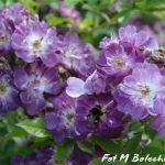 róża veilchenblan 2