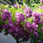 róża veilchenblau 1
