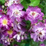 róża veilchenblau 3