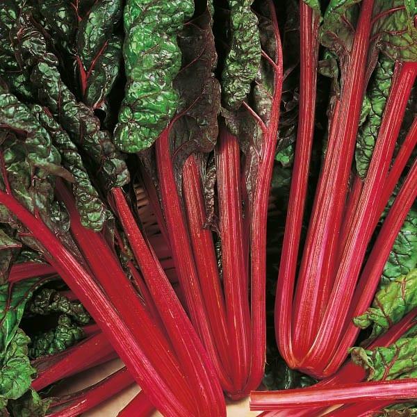 burak liściowy rhubarb chard