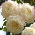 róża alaska 1