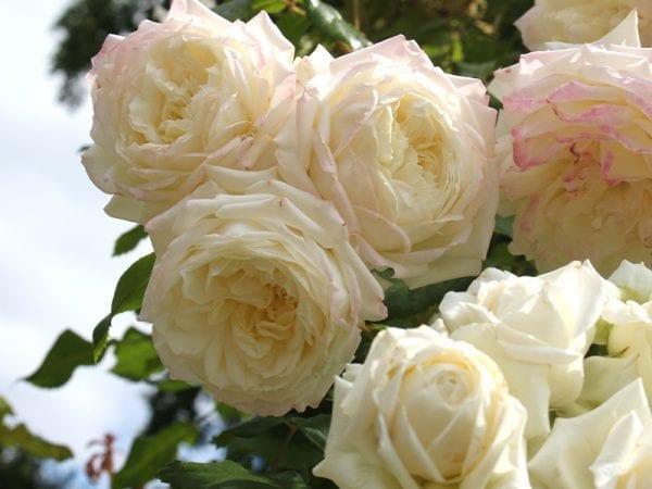 róża alaska