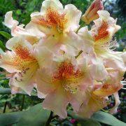 rhododendron bernstein 1