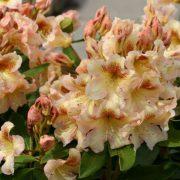 hell bernsteingelbe Blüten, innen kupferbraun gezeichnet