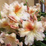 rhododendron bernstein 2