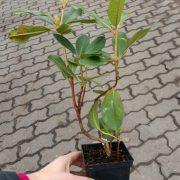 rhododendron calsap sadz