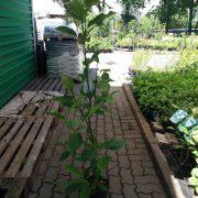 magnolia sadzonka c2