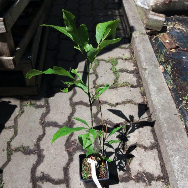 magnolia sadzonka p9