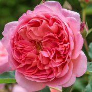 róża boscobel 1