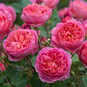 róża boscobel
