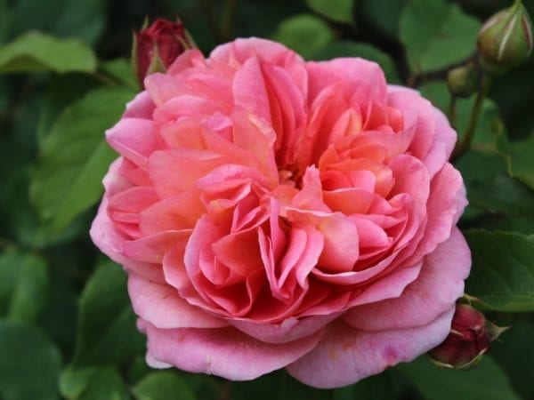 róża boscobel 2