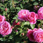 róża boscobel 3