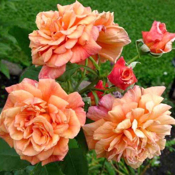 róża aloha 4