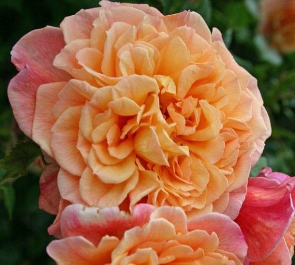 róża aloha 5