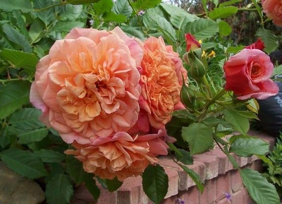 róża aloha 6