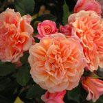 róża aloha 7