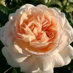 Beetrose 'Garden of Roses' ® – Rosa 'Garden of Roses' ®