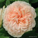 róża garden of roses