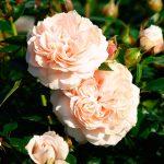 róża garden of roses 2