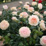 róża garden of roses 3