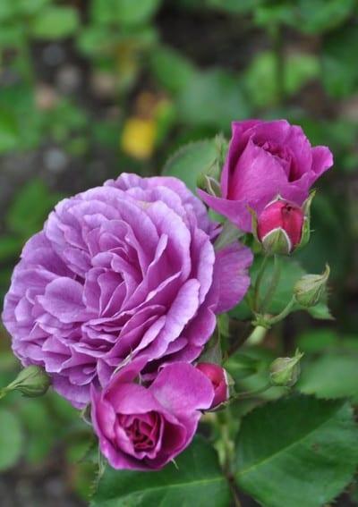 roza-minerwa-564×800