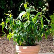 eukaliptus cyt