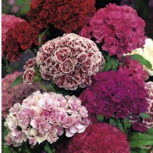 goździk brodaty o kwiatach pełnych