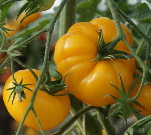 pomidor yellowstone