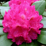 rododendron american beauty