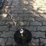 magnolia daybreak sadzonka
