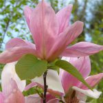magnolia daybreak1