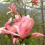 magnolia daybreak22