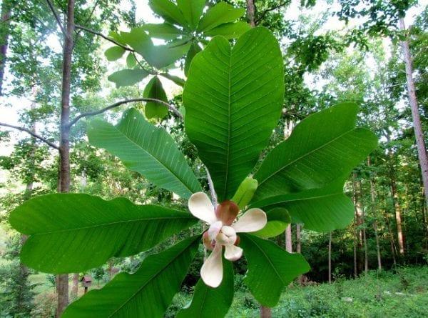 magnolia lekarska3