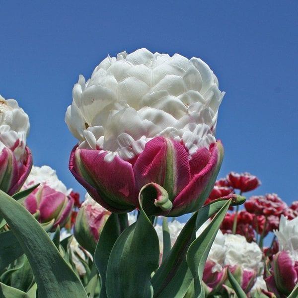 Tulipan Pelny Lodowy Ice Cream 5 Szt Cebulek Tulipanow Oryginalny
