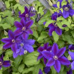 clematis wildfire1