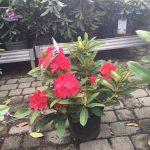 rhododendron red jack sadzonka