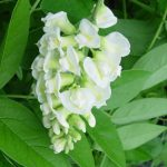 wisteria nivea