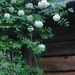 wisteria nivea1
