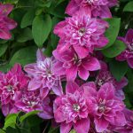 clematis my darling