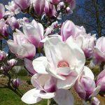 magnolia atlas1