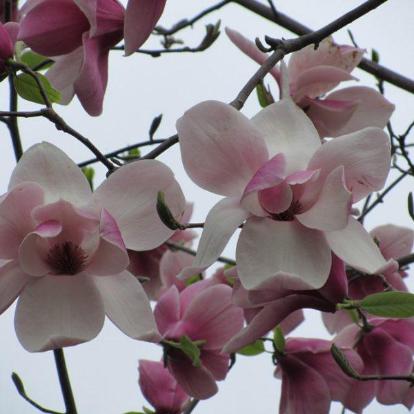 magnolia big dude