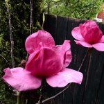 magnolia felix jury2