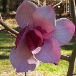 magnolia frank's masterpeice1