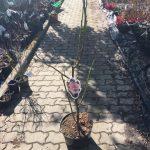 magnolia laura sadzonka