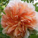 róża tea clipper